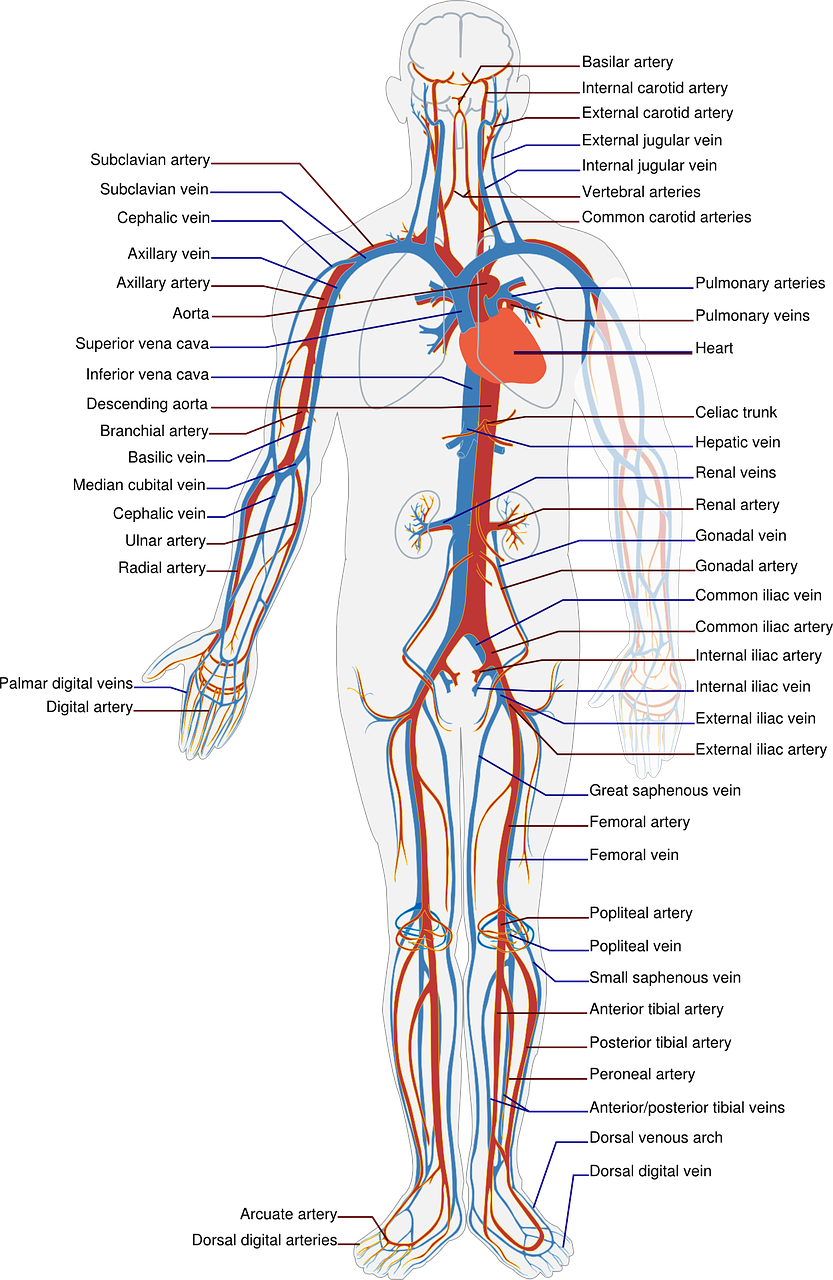 Human Anatomy Human Circulation
